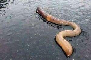 Способы разведения дождевого червя