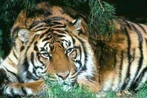 Туранский тигр: мощный, сильный и... истребленный человеком