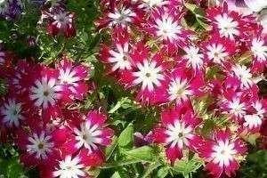 Выращиваем «огненные» цветы флоксы!