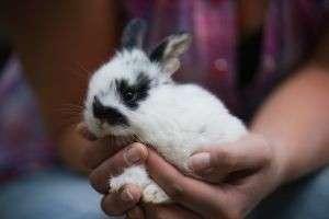 Если вы решились завести длинноухого питомца, для вас важно, сколько живут декоративные кролики?