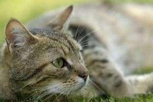 В каком возрасте стерилизовать кошку, чтобы она как можно легче перенесла операцию