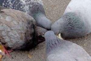 Голуби едят голубей: жестокость, необходимость или вовсе выдумка зевак