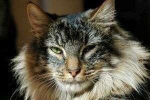 Лесной норвежский кот: полезные рекомендации по уходу и содержанию