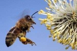 Почему пчелы исчезают с лица Земли и чем это может грозить планете