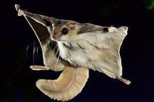 Всё о белке-летяге: где она живет, чем питается, содержание в домашних условиях