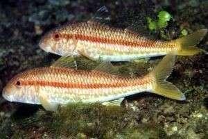 Рыба барабулька - знакомство