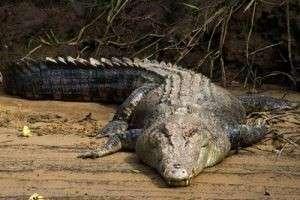Различные варианты снов и их толкование — к чему снятся крокодилы