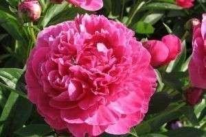 Как вырастить обворожительную травяную розу, или Посадка и уход за пионами