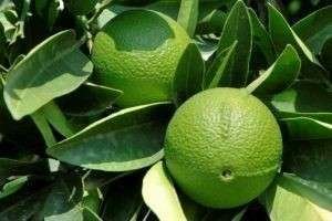 Что такое бергамот и чем полезны его плоды, листья, эфирные масла