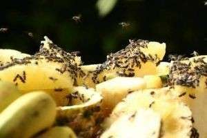 Откуда берутся мошки на фруктах и как это предотвратить