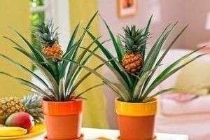 Южный гость в горшке, или Как посадить ананас в домашних условиях