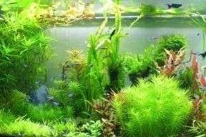 Почему не все растения в аквариумах правильно называть водорослями: начинающему аквариумисту