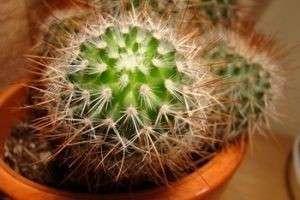 Как ухаживать за кактусом: советы по посадке, поливу и размножению