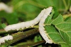 Такая разная гусеница шелкопряд: польза одних и вред других
