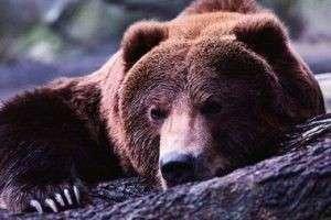 Что видят во сне медведи?