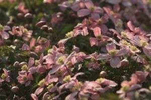 Клематис — посадка и уход на садовом участке и в домашних условиях