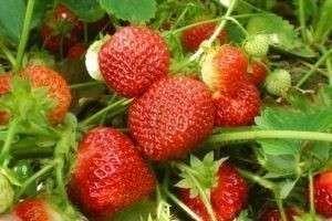 Как сажать клубнику семенами: рекомендации по выращиванию