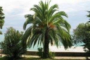 Всё о финиковой пальме: где она растет, как выглядит, какие имеет разновидности и что дает людям