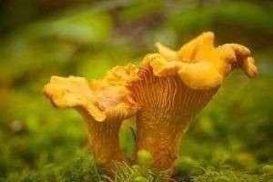 Как выглядят грибы лисички, где они растут и чем полезны?
