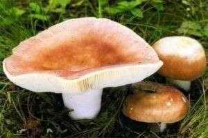 Как выглядят грибы сыроежки? Описание разных видов