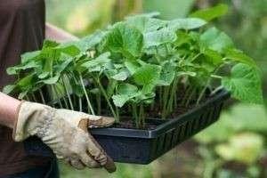 Рассада в феврале: что сажать зимой для хорошего урожая