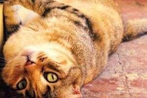Когда кастрировать кота? Лучший срок для операции