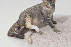 Сколько у кошки длится беременность