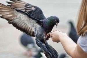 Чем кормить домашнего голубя и птенцов голубей? Чем кормить больного голубя дома