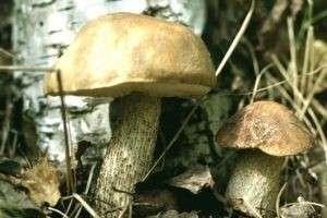 Почему подберезовики часто можно найти в березовом лесу, а опята – на трухлявых пнях?