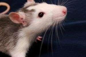 К чему снятся мыши и крысы — что означают их действия, цвет и стоит ли бояться неприятностей