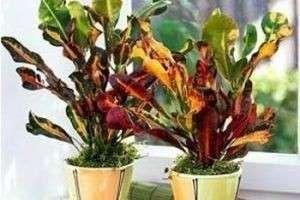 На планете цветов — уход за кротоном в домашних условиях