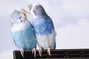 Как понять, что попугай беременный: радость птичьего материнства