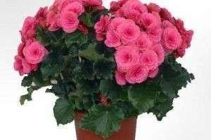 Уход в домашних условиях за бегонией — чтобы цветы вас радовали всегда