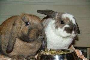 Рекомендации начинающим — как ухаживать за кроликами