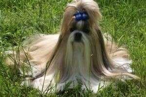 Что такое декоративные собаки?