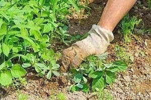 Секреты богатого урожая: как избавиться от сорняков на участке?