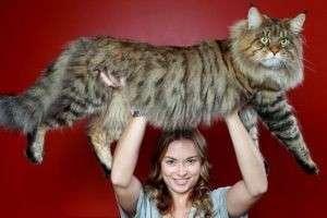 Самая большая порода домашних кошек: мейн кун или ашера?