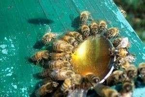 Подкормка пчел сахарным сиропом на зиму
