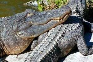 Кто такие крокодилы?