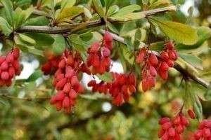 Карамельное дерево, или Барбарис: посадка и уход