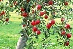 Удобрения для плодовых деревьев: яблонь, вишни и черешни, груши, сливы