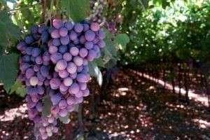 Виноград — польза и вред, уникальные возможности, применение в медецине, косметологии и пищевой промышленности