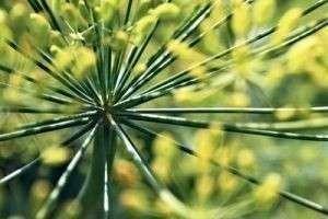 Зеленая аптека: полезные свойства фенхеля