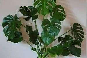 Как ухаживать за монстерой в домашних условиях: в каких условиях растение будет чувствовать себя комфортно