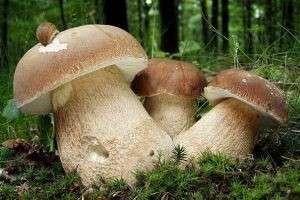 Белый гриб: его виды, как он выглядит, когда и где его искать?