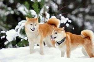 Собаки породы шиба-ину: описание внешнего вида, характера, особенностей ухода