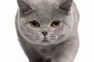 Какой характер у британской кошки и как ее правильно воспитывать