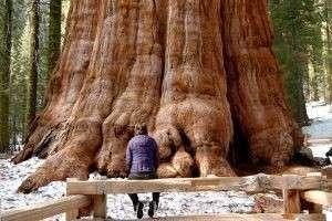 Какое самое высокое дерево в мире?