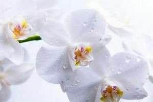 Болезни и вредители орхидеи фаленопсис, болезни корней и листьев, лечение с фото и видео
