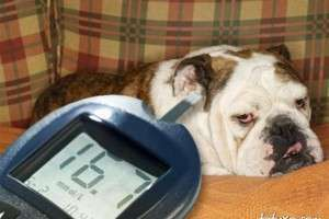Сахарный диабет у собаки: симптомы и лечение диетой
